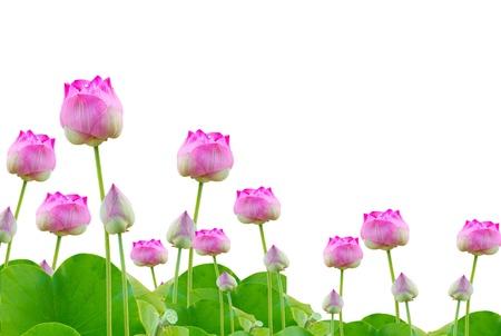 flores exoticas: muchas de loto de color rosa sobre fondo blanco