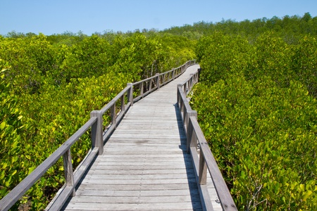 mangrove forest: bridge to mangrove forest Stock Photo