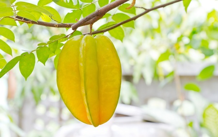 starfruit on tree photo