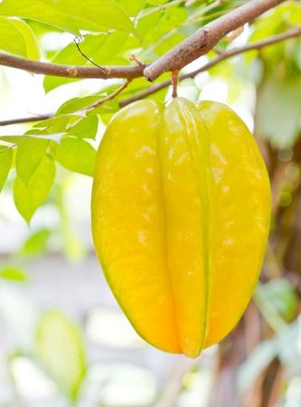 starfruit on tree Stock Photo