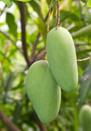 mango fruits on tree photo