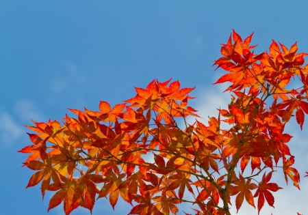 red maple leafs on blue sky background photo