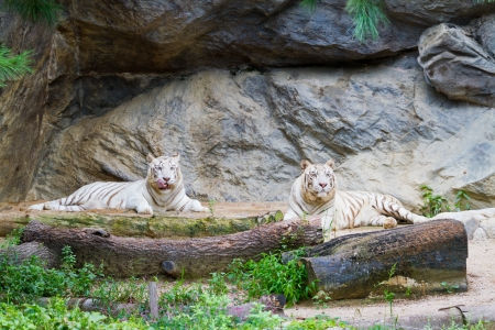 rubbing noses: two white tigers