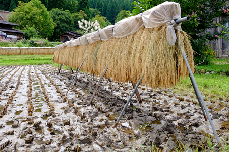 rice waiting for ripping in Japan Stock Photo