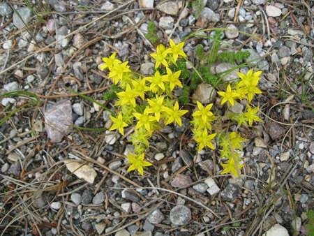 mountain yellow flower