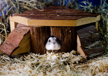 hamsters: Hamsters in the cottage Stock Photo