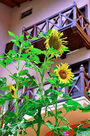 sunflowers in folgaria, trento, italy
