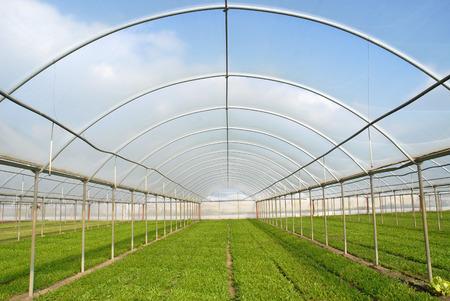 vegetable gardening: Greenhouse for Salad