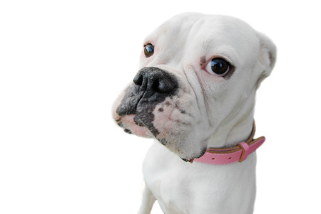 isolated portrait of bulldog