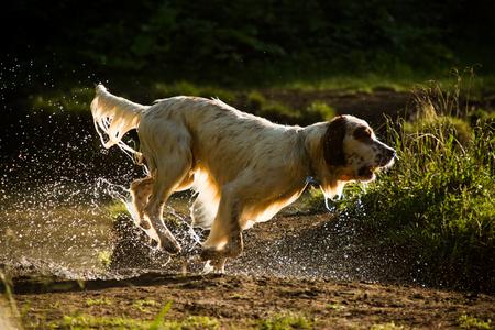 dog days: setter perro que se ejecuta en el parque todo mojado, vista retroiluminaci�n