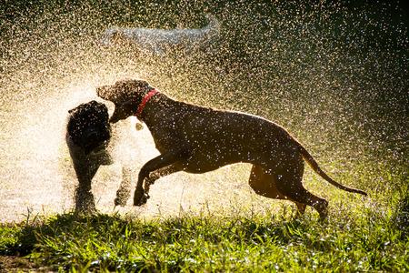 dog days: Perros que juegan en el parque que expulsa agua, luz de fondo vista Foto de archivo