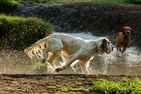 dog days: Dog setter running at the park all wet, backlight view