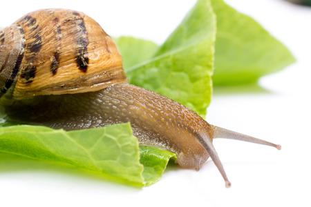 babosa: Snail on green salad leaf, isolated in white background