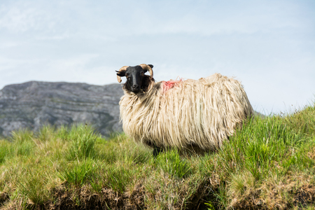 Landascapes of Ireland. Sheep grazing, Connemara in Galway county Stock Photo