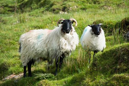 Landschappen van Ierland. Schapen grazen, Connemara in Galway county Stockfoto