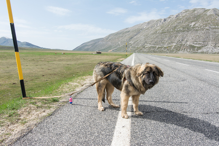 Don't ditch the dog when you leave for the summer vacations. Mixed breed on the road in mountain
