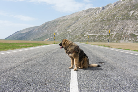 Dont ditch the dog when you leave for the summer vacations. Mixed breed on the road in mountain