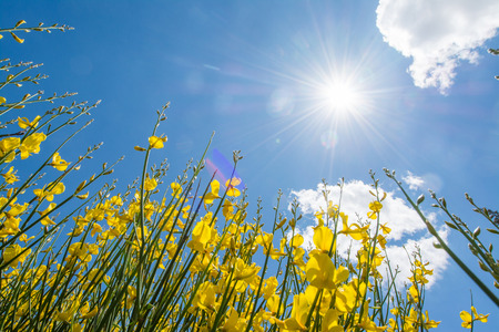 Gorse or genista in spring with sky and clouds, seasonal Stock Photo