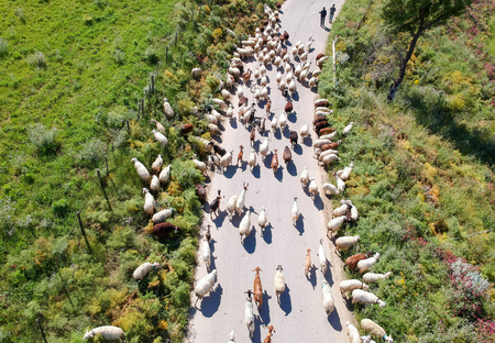 Sheep blocking the road, as they are being moved.
