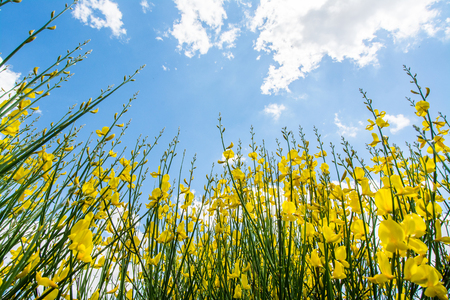 Gorse or genista in spring with sky and clouds, seasonal background Stock Photo