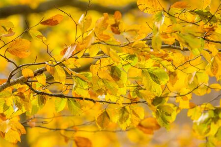 Foliage in Monti Simbruini national park, Lazio, Italy. Autumn colors in a beechwood. Beechs with yellow leaves. Archivio Fotografico