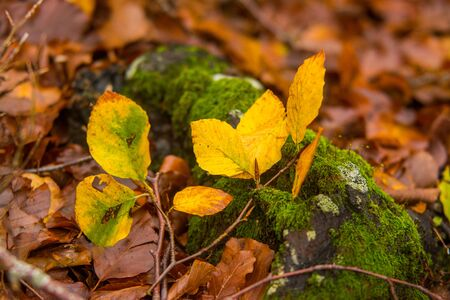Foliage in Monti Simbruini national park, Lazio, Italy. Autumn colors in a beechwood. Beechs with yellow leaves. Stock fotó