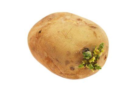 germinating: A germinating potato isolated on white background. Stock Photo