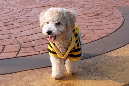 cutie: A cutie poodle dog walking on playground. Stock Photo