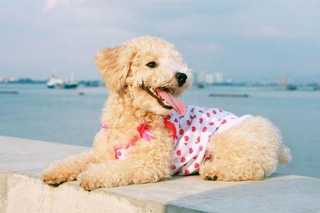 Cutie poodle dog sitting balustrade at seaside.