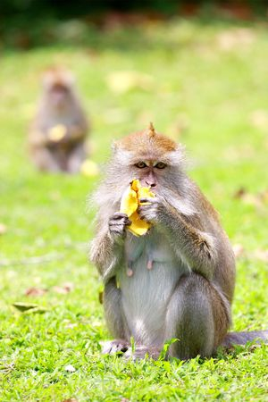 eating banana: A monkey eating banana on the pasture.