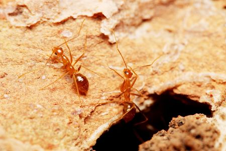 Close up of weaver ants (oecophylla smaragdina) on brick. Stock Photo - 3336293