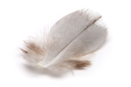 weightless: Close up of a bird feather on white background.