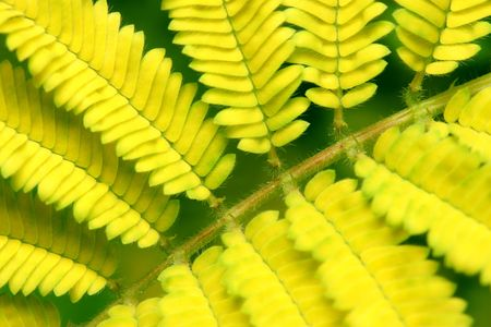 Close up of yellow bipinnate left as background. Stock Photo - 3356119