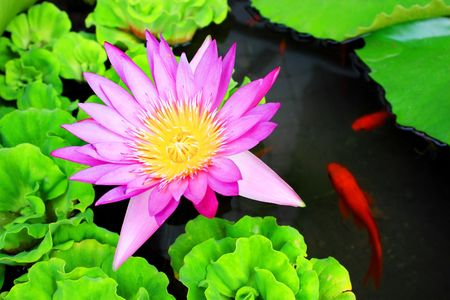 Waterlily flower with some carps swimming around it.