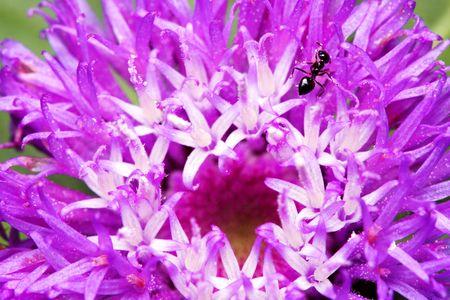 A black ant creeps on purple petal. photo