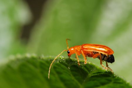 Close up of a little orange color beetle on green leaf. photo