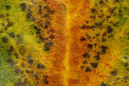 venation: Close up of a withered leaf as texture background.