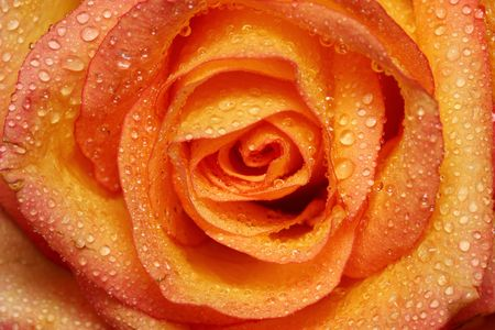 Close up of orange yellow rose with some water drop. photo