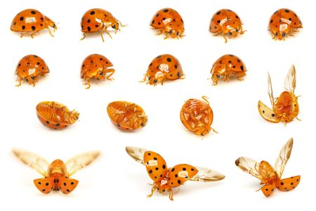 A series of ladybirds isolated on white background. photo