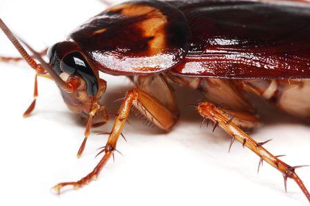 Close up van een kakkerlak op witte achtergrond.