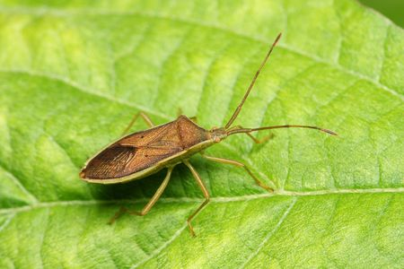shield bug: A shield bug standing on the green leaf.