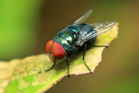 Close up of fly on green leaf. Banque d'images