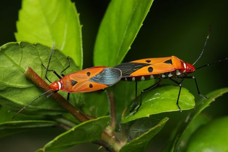 copulate: Close up of shield bugs mating on green leaf.