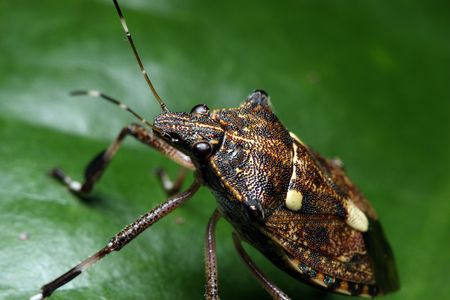 Close up of shield bug standing on the green leaf. photo