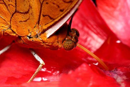 butterflies nectar: Close up of butterflies sucking nectar on red flower petal.