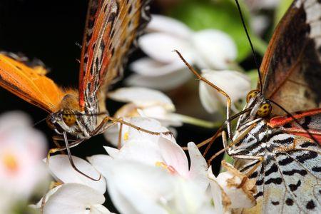 butterflies nectar: Close up of butterflies sucking nectar on flower petal.