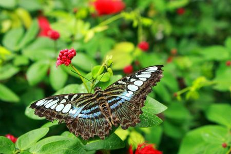 legs spread: Close up of a butterfly over green leaves. Stock Photo