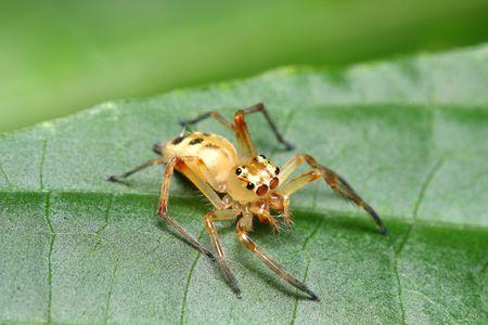 A white jumping spider (Telamonia Festiva) standing on green leaf. photo