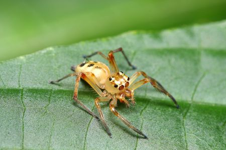 festiva: A white jumping spider (Telamonia Festiva) standing on green leaf. Stock Photo