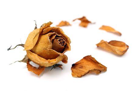 시 든 장미와 꽃잎 흰색 배경 위에 닫습니다.